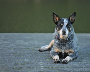 Австралийский хилер Australian Cattle Dog, ACD, Cattle Dog, Blue Heeler, Red Heeler
