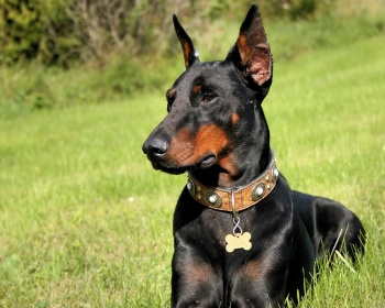 Доберман Doberman Pinscher, Doberman, Dobie